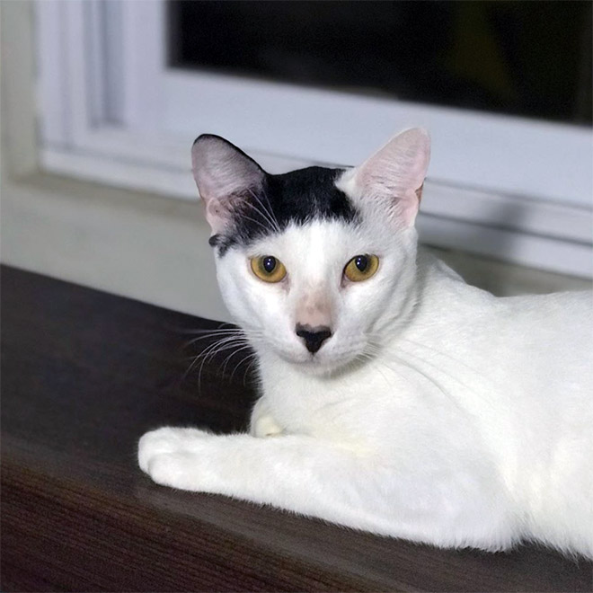Meet Kitler: cat that look like Hitler.