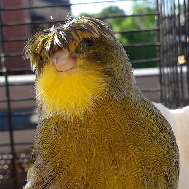 This bird has The Beatles haircut.