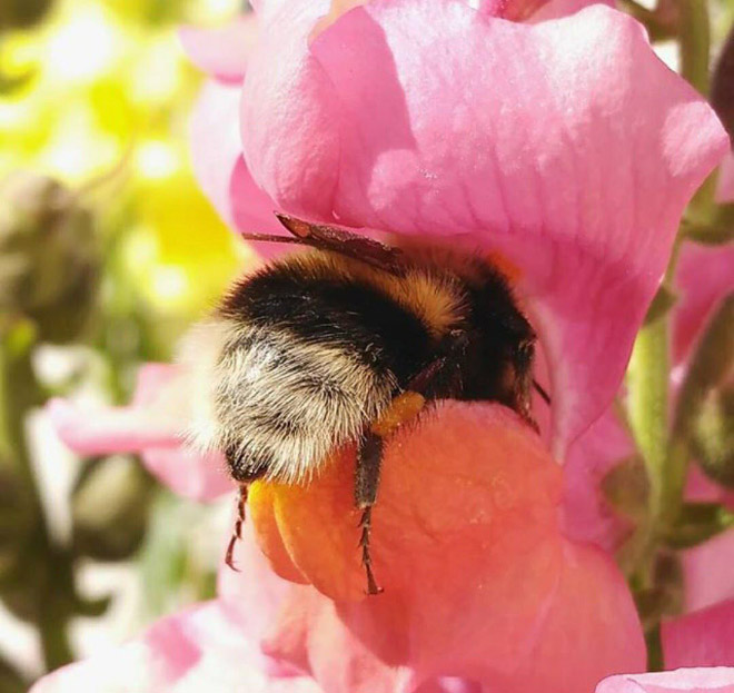 Really tired bumblebee sleeping in a flower.