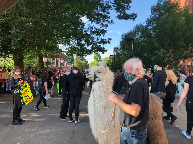 No drama llama Caesar calming down protesters and policemen.