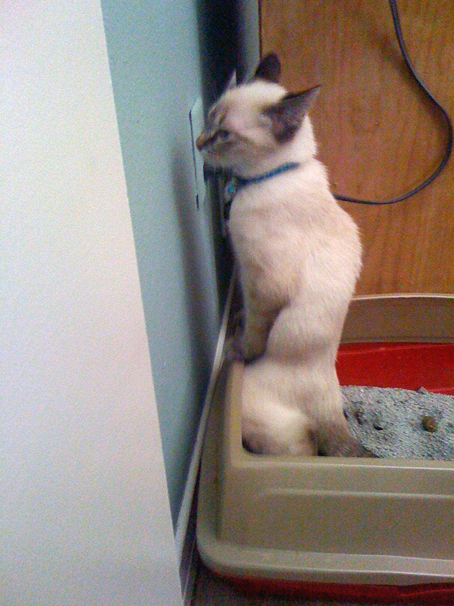 Why some cats poop standing up?