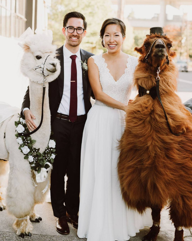Renting llamas and alpacas for your wedding is a thing now...