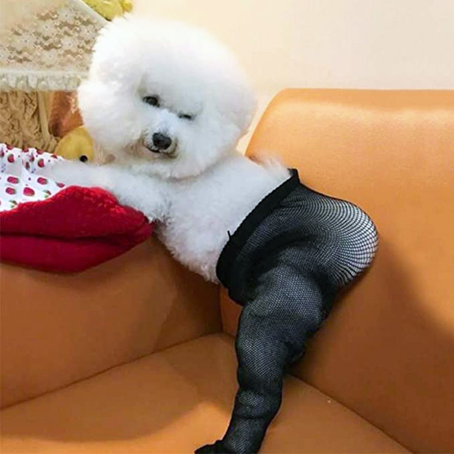 Some people buy fishnet stockings for their dogs...