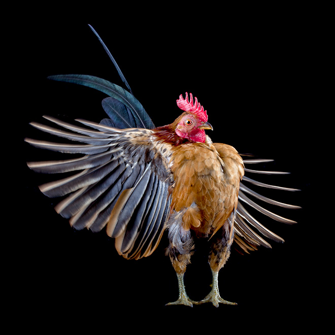 Serama chickens are the most pompous chickens ever.