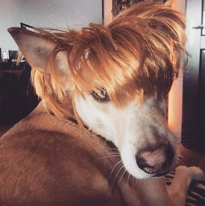 Some dogs wear wigs.