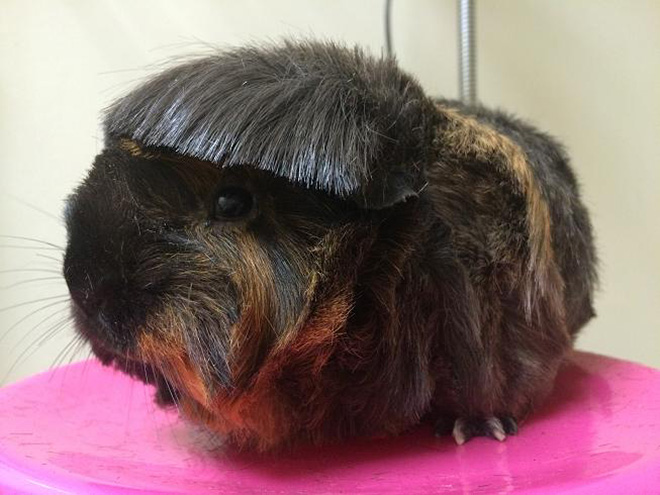 Guinea pig with bangs looks hilarious!
