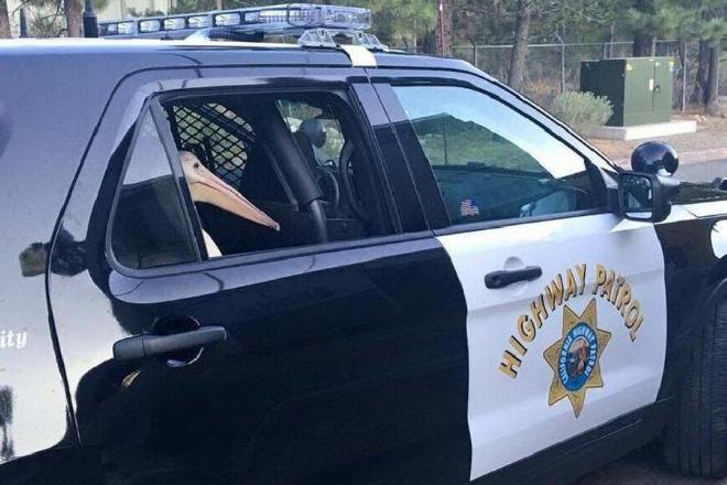 Pelican under arrest.