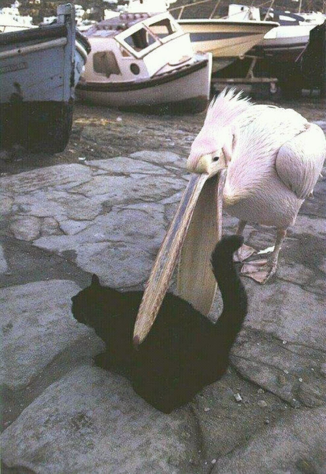 Pelicans will eat anything, they don't care!