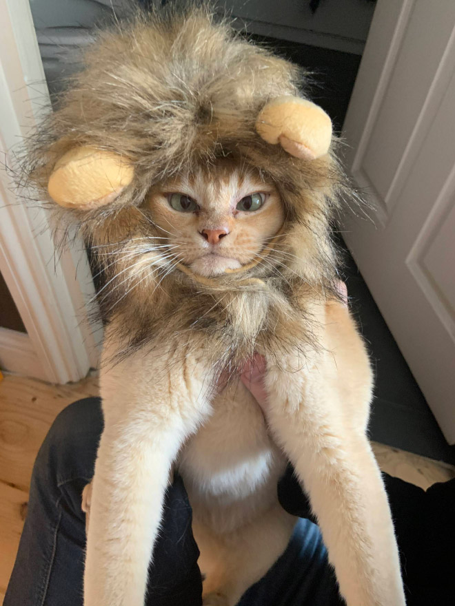 Lion's mane wig for cats.